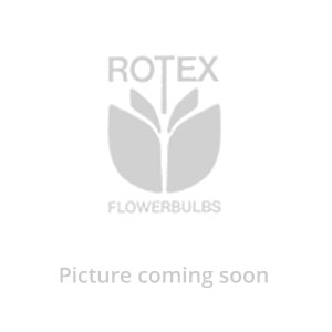 GLADIOLUS BAMBINO & RUFFLED ASSORTMENT (40 PKGS.X 10)