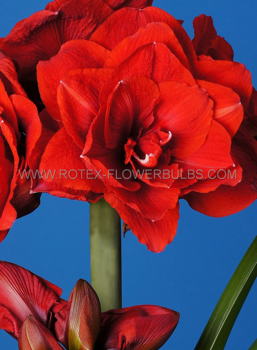 hippeastrum amaryllis unique double flowering cherry nymph 3436 cm 12 pwooden crate