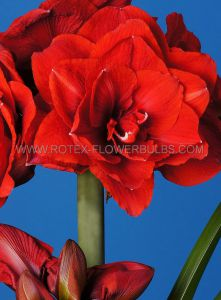 HIPPEASTRUM (AMARYLLIS UNIQUE) DOUBLE FLOWERING 'CHERRY NYMPH' 34/36 CM. (12 P.WOODEN CRATE)