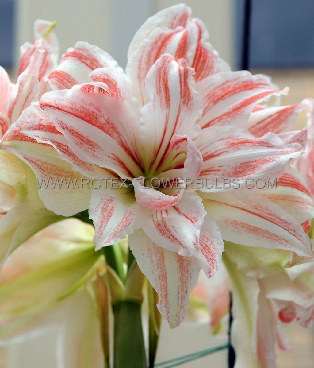 hippeastrum amaryllis unique double flowering dancing queen 3436 cm 6 popen top box