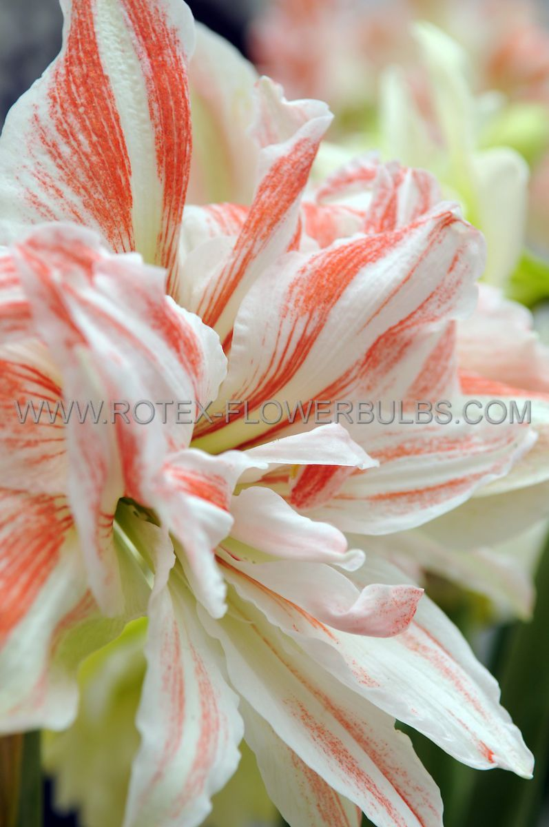 hippeastrum amaryllis unique double flowering dancing queen 3436 cm 30 pcarton