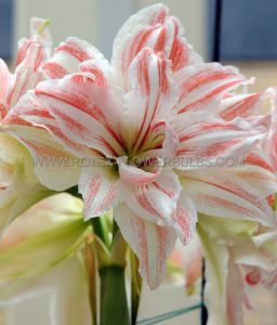 HIPPEASTRUM (AMARYLLIS UNIQUE) DOUBLE FLOWERING 'DANCING QUEEN' 34/36 CM. (12 P.WOODEN CRATE)