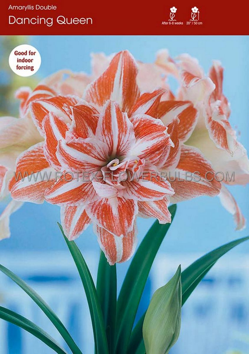 hippeastrum amaryllis unique double flowering dancing queen 3436 cm 12 pwooden crate