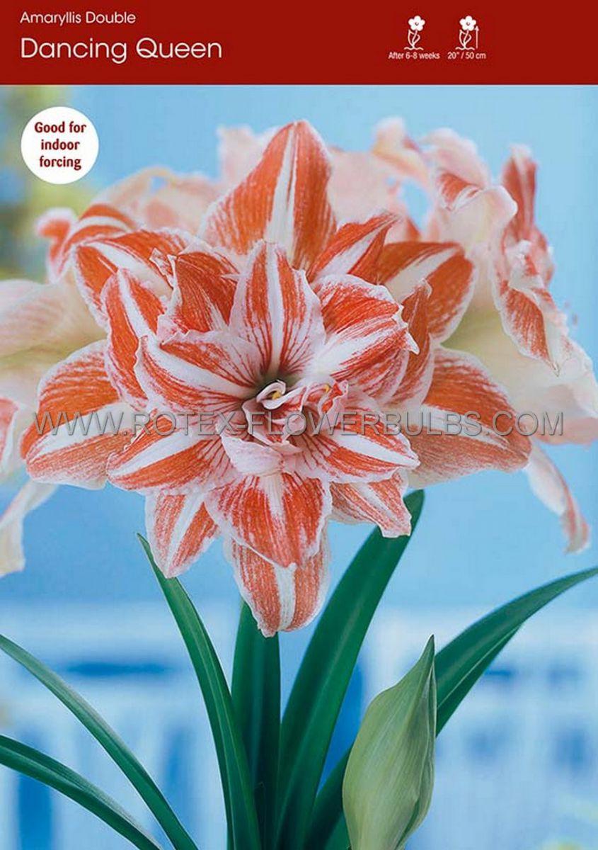 hippeastrum amaryllis unique double flowering dancing queen 3436 cm 12 pwooden crate