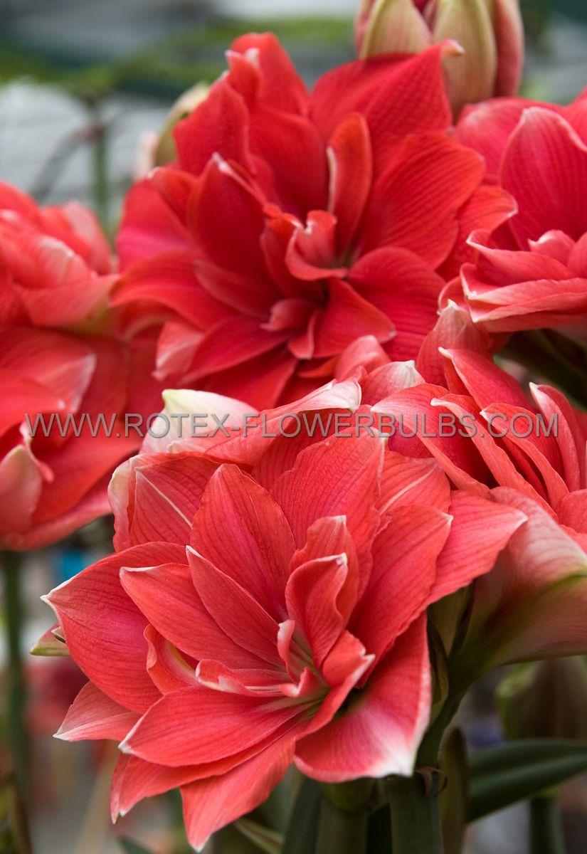 hippeastrum amaryllis unique double flowering double dream 3436 cm 6 popen top box