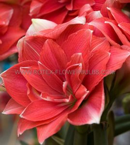 HIPPEASTRUM (AMARYLLIS UNIQUE) DOUBLE FLOWERING 'DOUBLE DREAM' 34/36 CM. (12 P.WOODEN CRATE)