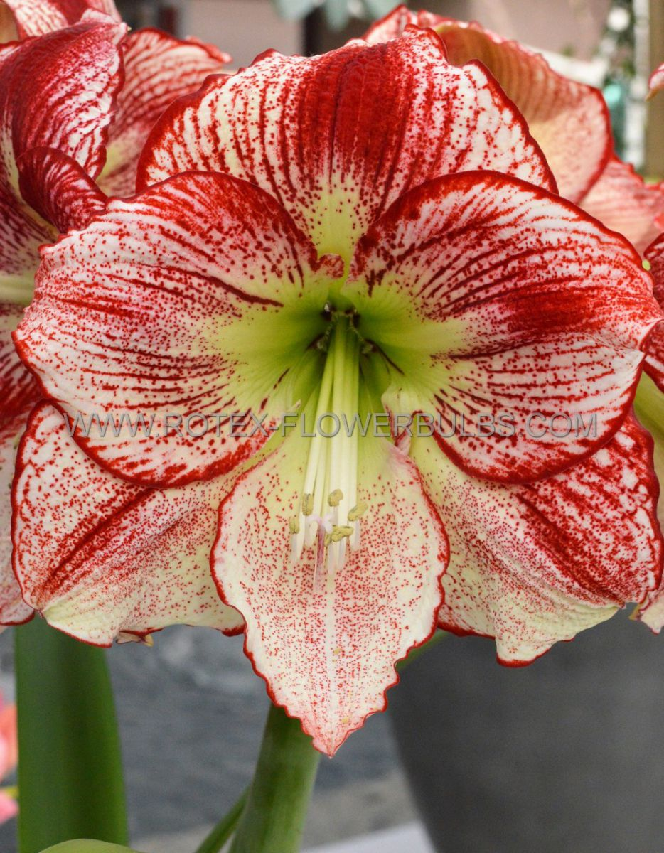 hippeastrum amaryllis unique large flowering flamenco queen 3436 cm 12 pwooden crate
