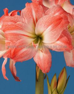 HIPPEASTRUM (AMARYLLIS UNIQUE) DOUBLE FLOWERING 'GIANT AMADEUS' 34/36 CM. (6 P.OPEN TOP BOX)