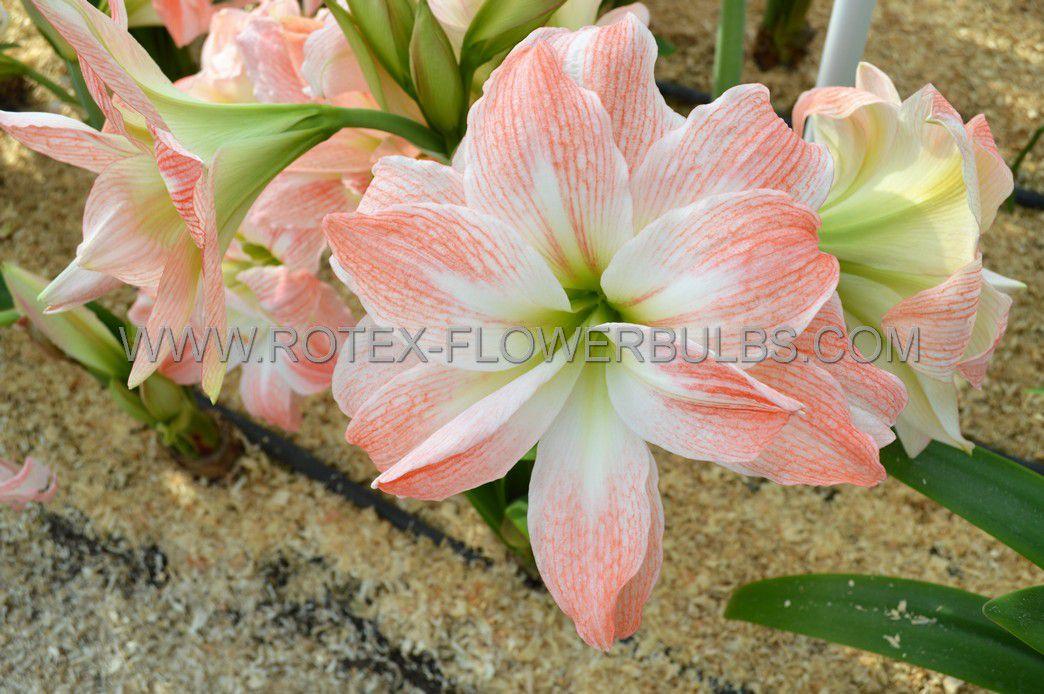hippeastrum amaryllis unique double flowering giant amadeus 3436 cm 6 popen top box