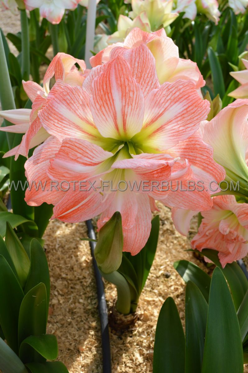 hippeastrum amaryllis unique double flowering giant amadeus 3436 cm 12 pwooden crate