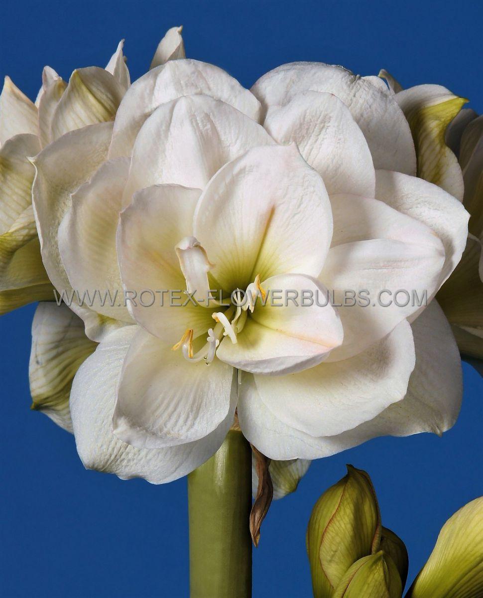 hippeastrum amaryllis unique double flowering white amadeus 3436 cm 30 pcarton