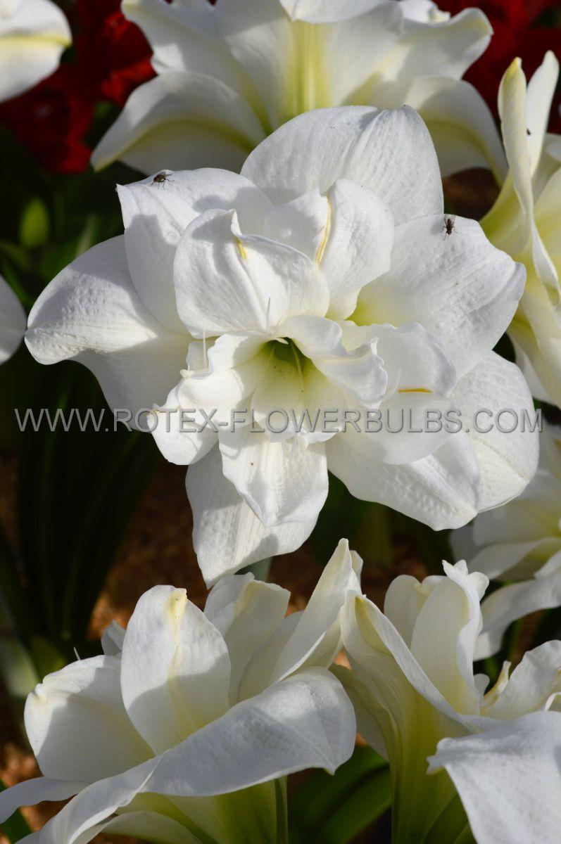 hippeastrum amaryllis unique double flowering white amadeus 3436 cm 12 pwooden crate