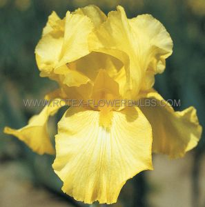 IRIS GERMANICA (BEARDED IRIS REBLOOMING) 'HARVEST OF MEMORIES' I (15 P.OPEN TOP BOX)