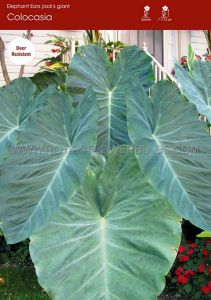 "COLOCASIA ESCULENTA (ELEPHANT EAR) 'JACK'S GIANT' 9""-11"" (20 P.OPEN TOP BOX)"