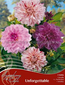 SYMPHONY OF COLORS PKGS. DAHLIA DECORATIVE MIX 'UNFORGETTABLE' II (25 PKGS.X 3)