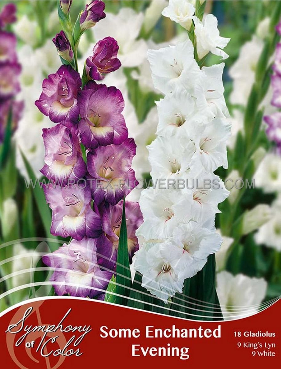 symphony of colors pkgs gladiolus mix some enchanted evening 1214 cm 25 pkgs x 18