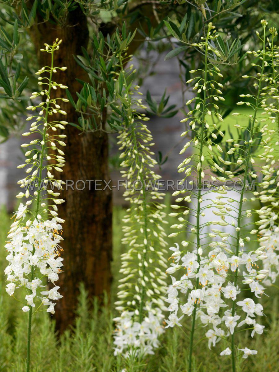 miscellaneous eremurus foxtail lily white beauty favourite i 25 pcarton