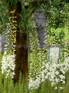 MISCELLANEOUS EREMURUS (FOXTAIL LILY) 'WHITE BEAUTY FAVOURITE' I (25 P.CARTON)
