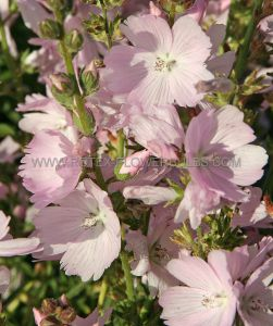 SIDALCEA (PRAIRIE MALLOW) (CHECKER BLOOM) HYBRIDA 'ELSIE HEUGH' I (25 P.BAG)
