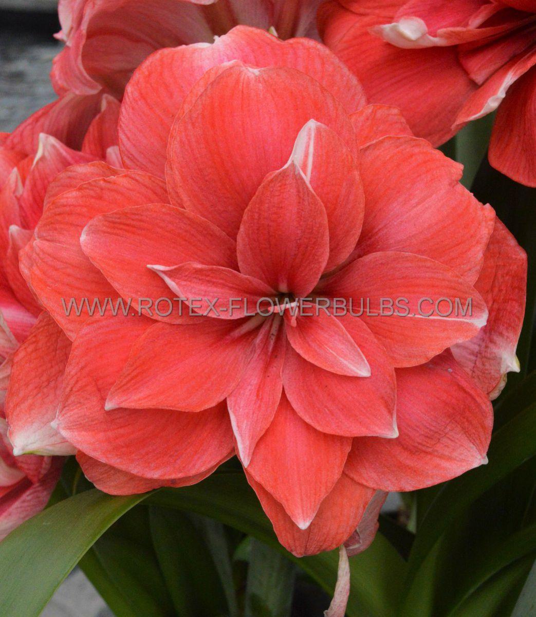 hippeastrum amaryllis unique double flowering double dream 3436 cm 12 pwooden crate