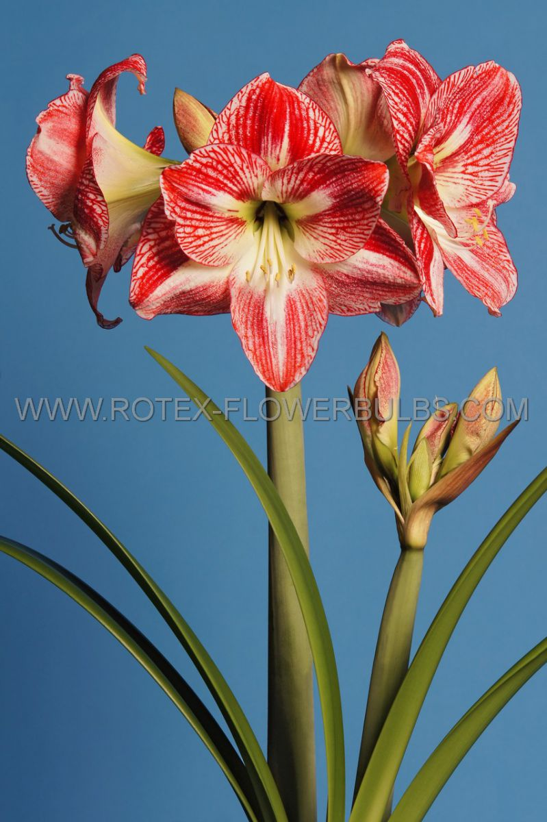 hippeastrum amaryllis unique large flowering spotted queen 3436 cm 6 popen top box