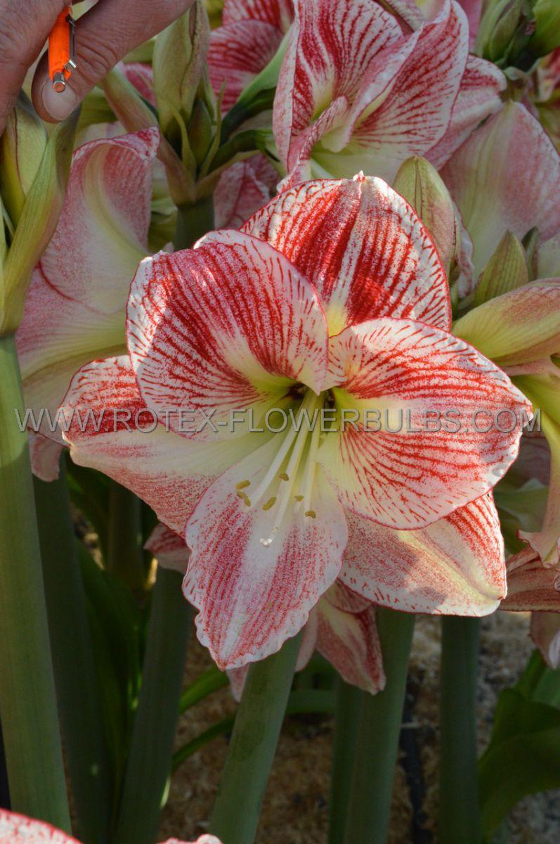 hippeastrum amaryllis unique large flowering spotted queen 3436 cm 12 pwooden crate