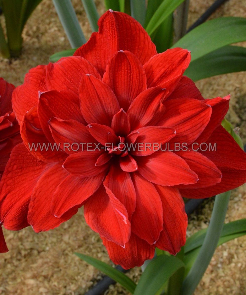hippeastrum amaryllis unique double flowering scarlet belle 3436 cm 30 pcarton