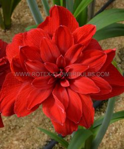 HIPPEASTRUM (AMARYLLIS UNIQUE) DOUBLE FLOWERING 'SCARLET BELLE' 34/36 CM. (12 P.WOODEN CRATE)