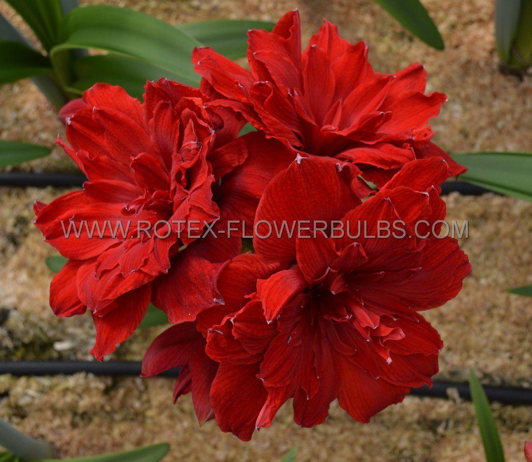 hippeastrum amaryllis unique double flowering scarlet belle 3436 cm 12 pwooden crate