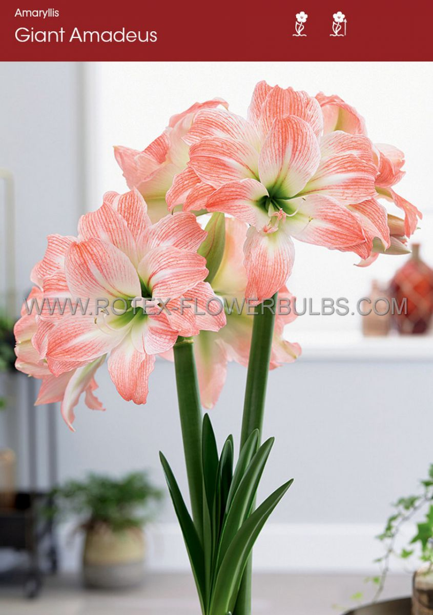 hippeastrum amaryllis unique double flowering giant amadeus 3436 cm 30 pcarton