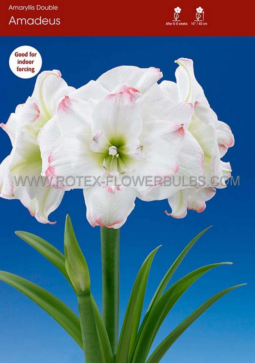 hippeastrum amaryllis unique double flowering amadeus candy 3436 cm 6 popen top box