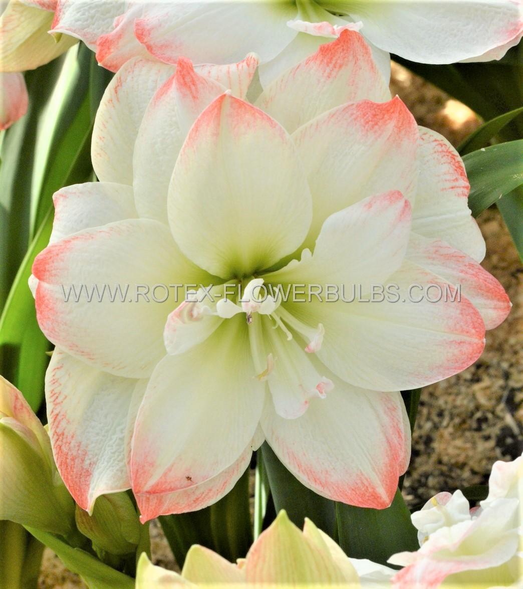 hippeastrum amaryllis unique double flowering amadeus candy 3436 cm 12 pwooden crate
