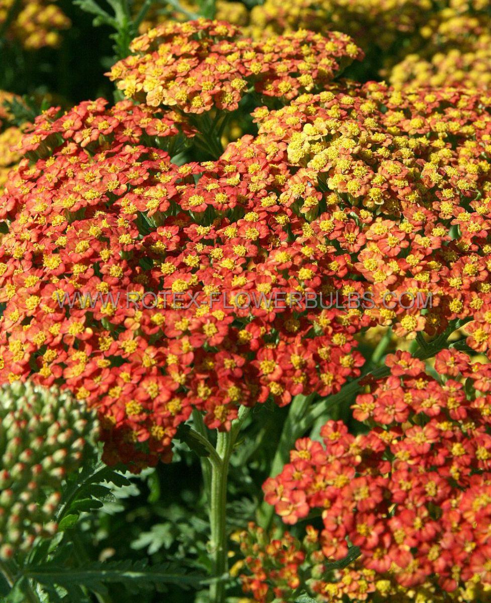achillea yarrow hybrida walter funcke i 25 pbag