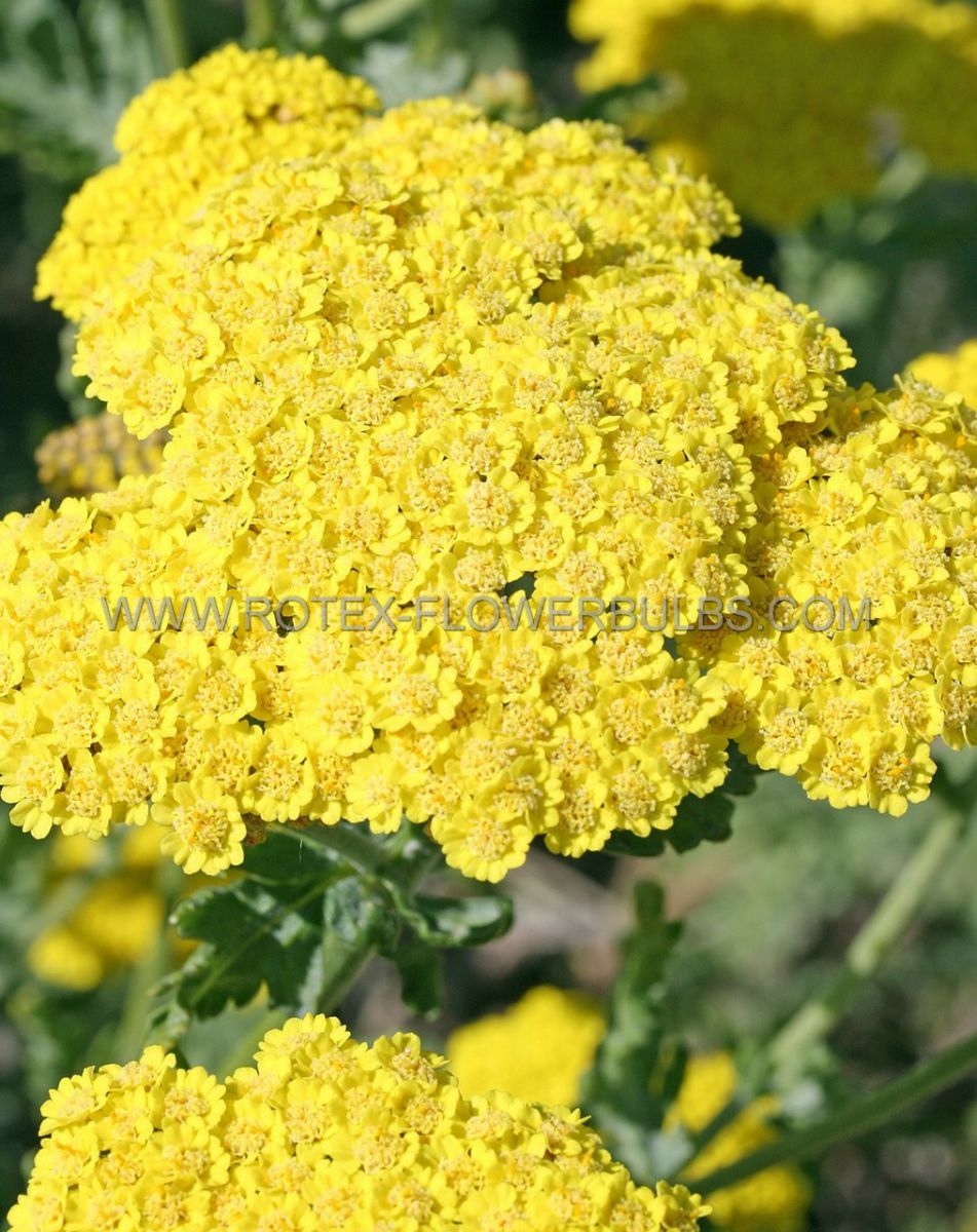achillea yarrow millifolium moonshine i 25 pbag