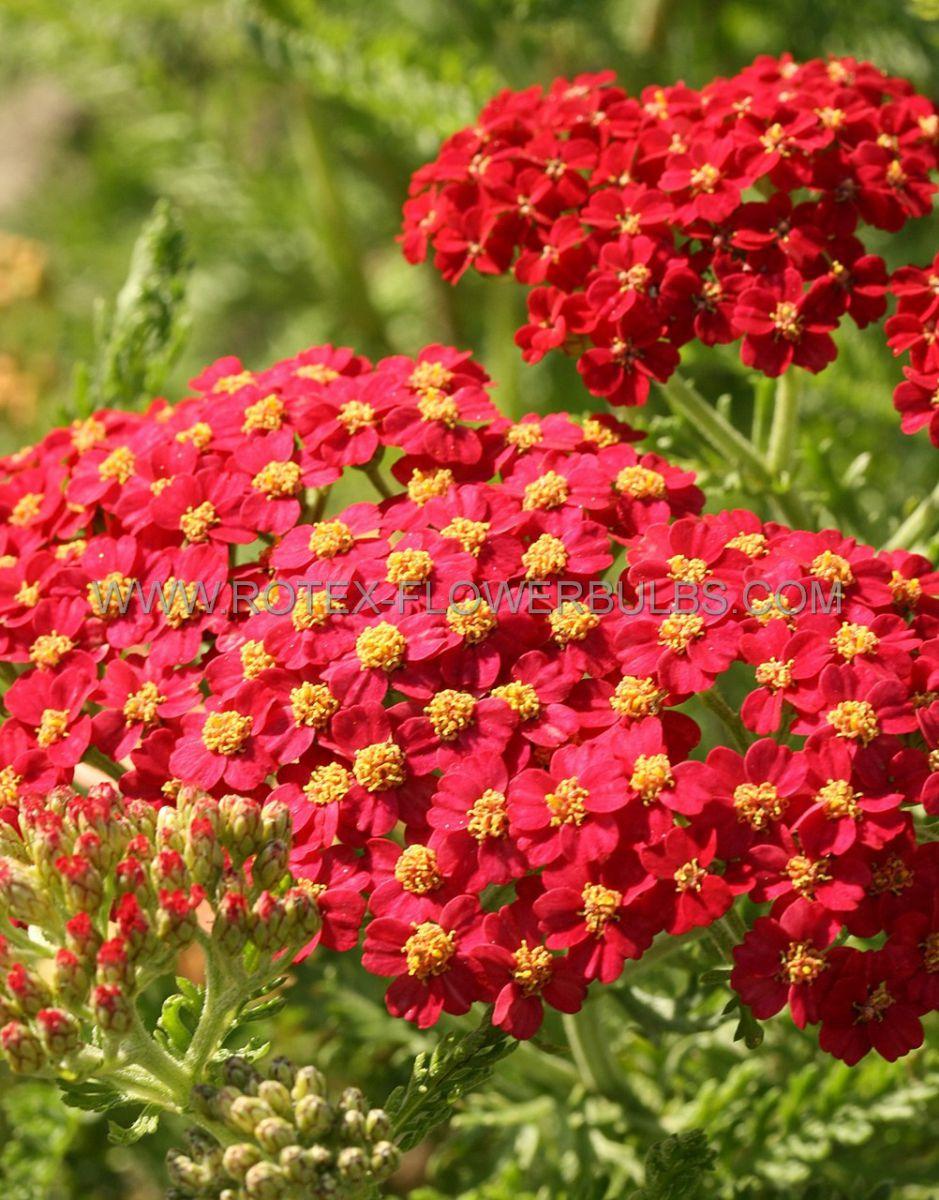 achillea yarrow millifolium paprika i 25 pbag
