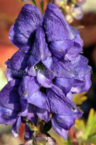 ACONITUM (MONKSHOOD) CARMICHAELII I (25 P.BAG)