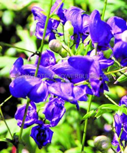 ACONITUM (MONKSHOOD) HENRYI 'SPARK'S VARIETY' I (25 P.BAG)