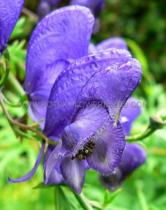 ACONITUM (MONKSHOOD) NAPELLUS I (25 P.BAG)