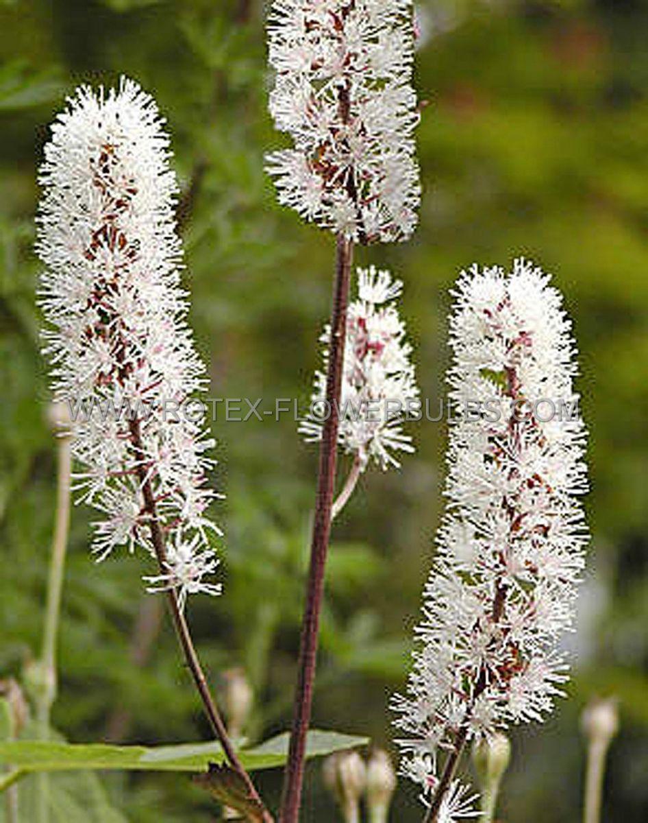 actaea bugbane simplex brunette i 25 pbag