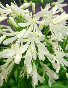 AGAPANTHUS (LILY OF THE NILE) AFRICANUS 'ALBUS' (25 P.BAG)