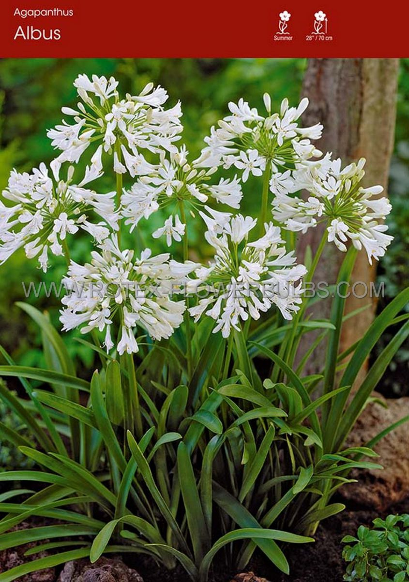 agapanthus lily of the nile africanus albus 25 pbag