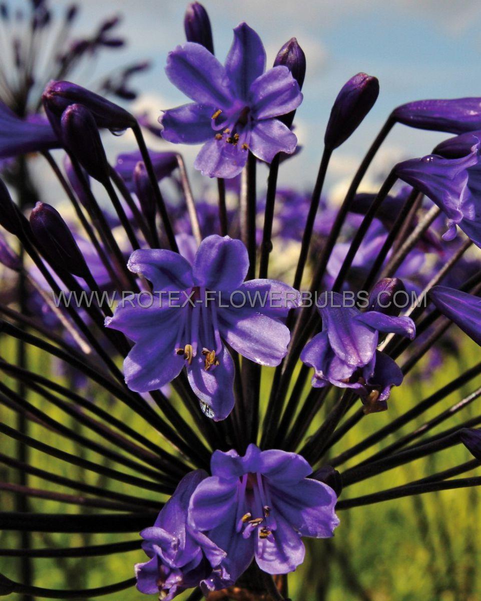 agapanthus lily of the nile black buddhist 25 pbag