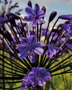 AGAPANTHUS (LILY OF THE NILE) 'BLACK BUDDHIST' (25 P.BAG)