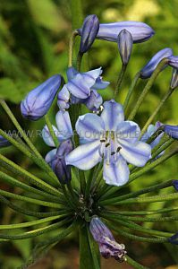 AGAPANTHUS (LILY OF THE NILE) 'BLUE DONAU' I (15 PKGS.X 1)
