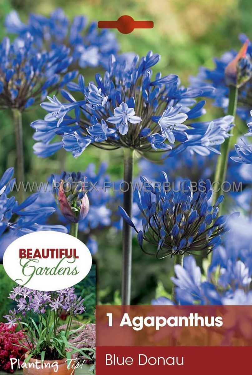 agapanthus lily of the nile blue donau i 15 pkgsx 1