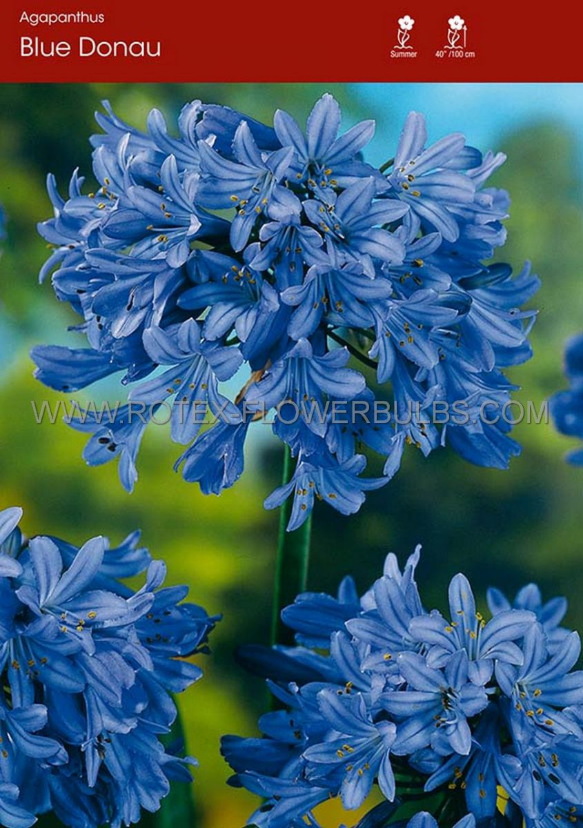 agapanthus lily of the nile blue donau i 25 popen top box