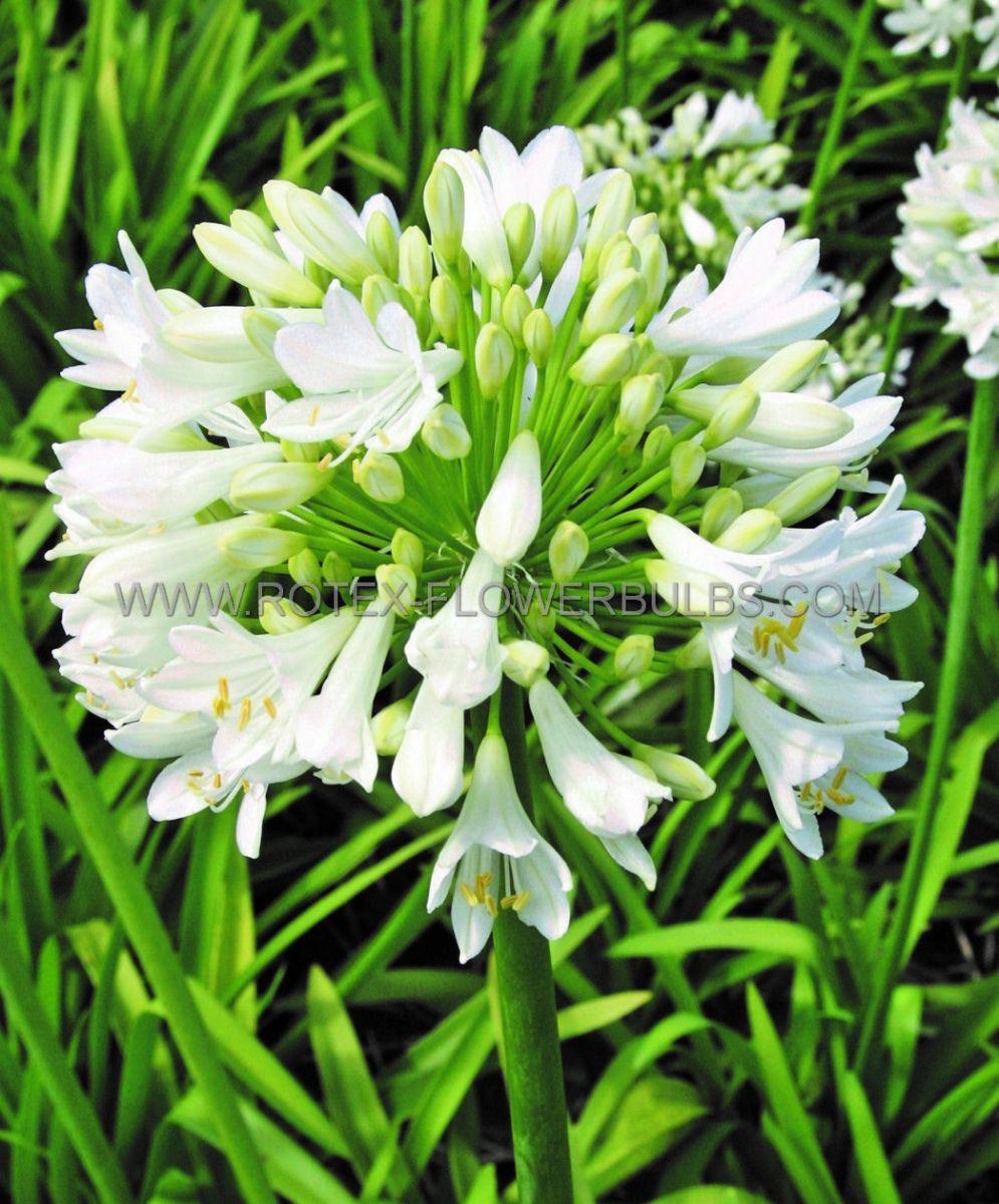 agapanthus lily of the nile polar ice i 25 pbag