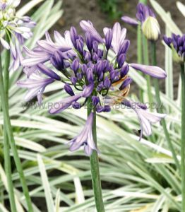 AGAPANTHUS (LILY OF THE NILE) 'SILVER MOON' I (25 P.BAG)