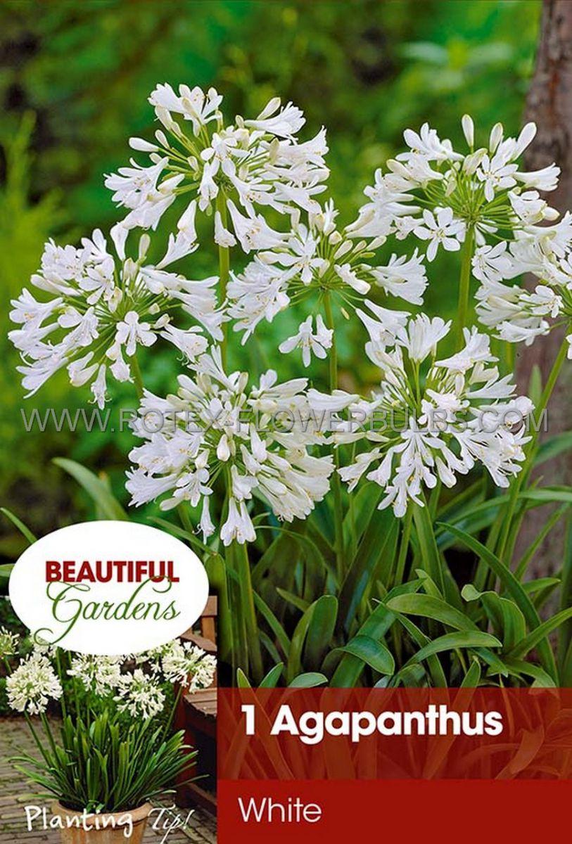agapanthus lily of the nile white i 15 pkgsx 1