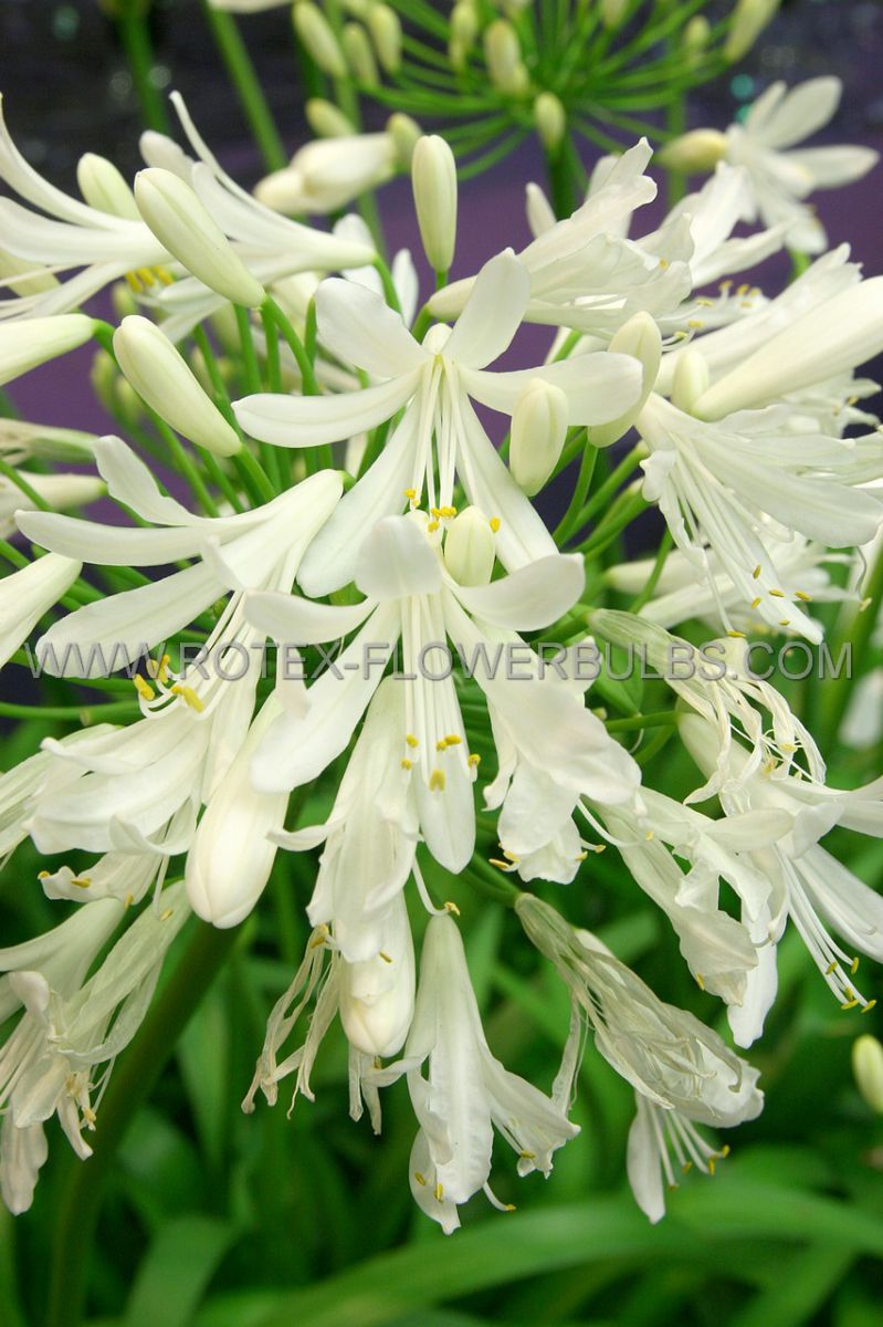 agapanthus lily of the nile white i 25 popen top box